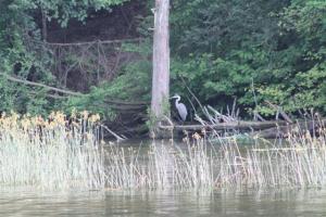 River Heron